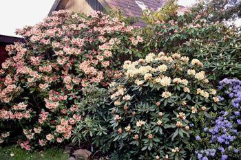 Tips og Ideer til en Rhododendron have